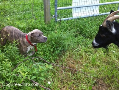 A blue-nose brindle Pit Bull Terrier puppy is standing in medium sized grass having a stare down with a goat