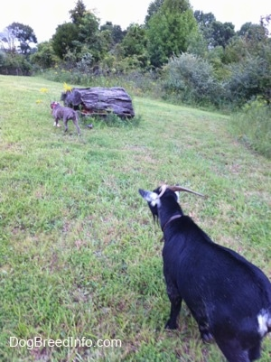 A black and white goat is following behind a blue-nose brindle Pit Bull Terrier puppy across a field.