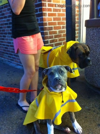 A blue-nose brindle Pit Bull Terrier puppy is sitting on walkway next to a brick building in a bright yellow raincoat and next to him is a brown brindle Boxer in a raincoat. There is a person in a black shirt behind them.