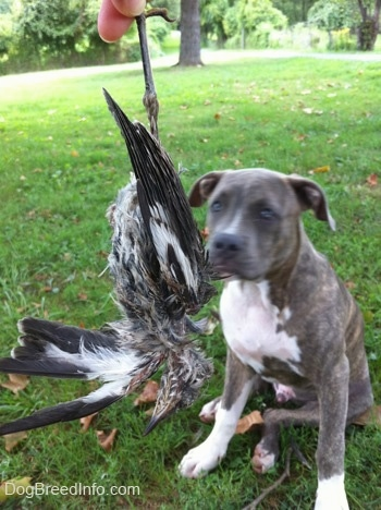 A person is holding a dead bird in their hand. There is a blue-nose brindle Pit Bull Terrier puppy sitting in grass and looking at the bird.