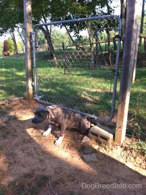 A blue-nose brindle Pit Bull Terrier puppy just went under a chain link gate.