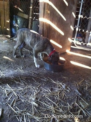 A blue-nose brindle Pit Bull Terrier puppy is drinking water out of a silver metal dish in a barn.
