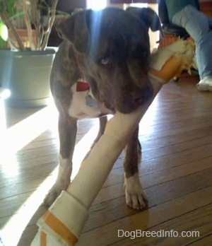 A blue-nose brindle Pit Bull Terrier puppy is standing on a hardwood floor and he has a large rawhide toy bone in his mouth.