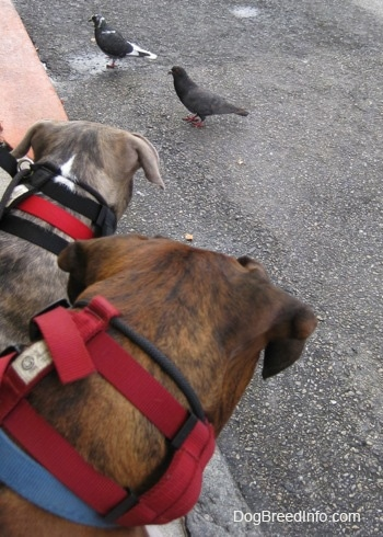Close up - The back of a brown with black and white Boxer and a blue-nose brindle Pit Bull Terrier puppy looking back at two pigeons standing on a blacktop surface.