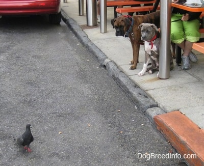 A brown with black and white Boxer and a blue-nose brindle Pit Bull Terrier puppy are standing on a sidewalk looking at a pigeon on the street.