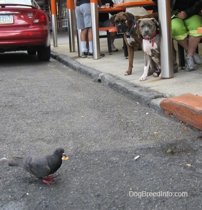 A brown with black and white Boxer and a blue-nose brindle Pit Bull Terrier puppy are looking down at a pigeon in the street that has a piece of food in his mouth.