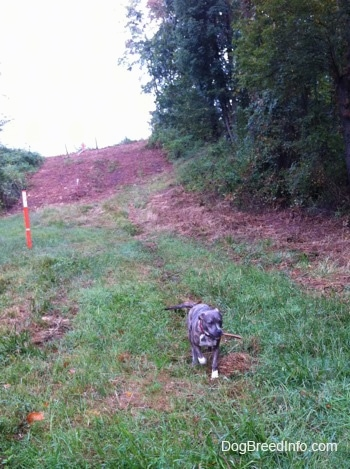 A blue-nose brindle Pit Bull Terrier puppy is walking down a field and he has a stick in his mouth.