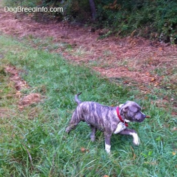 A happy-looking blue-nose brindle Pit Bull Terrier puppy is walking across grass and he has a stick in his mouth.