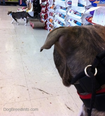 The back of a blue-nose brindle Pit Bull Terrier puppy is looking at a cat that is walking to the left in a pet store.