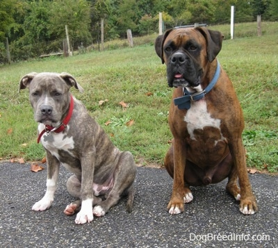 A blue-nose brindle Pit Bull Terrier puppy and a larger brown brindle Boxer are sitting on a blacktop surface and they are looking forward.
