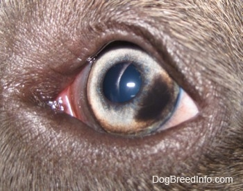 Close up - The eye of a blue-nose brindle Pit Bull Terrier puppy that has a brown spot on the right corner of it.
