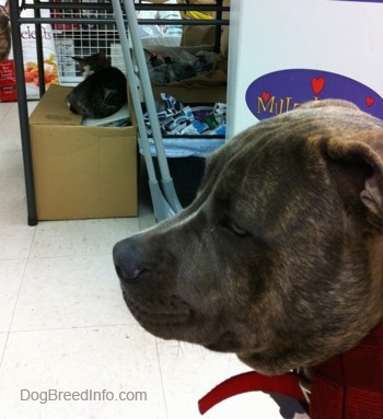 Side view - The head of a blue-nose brindle Pit Bull Terrier puppy that is sitting on a tiled floor and he is looking to the left. There is a cat in the background laying on a cardboard box at a pet store.