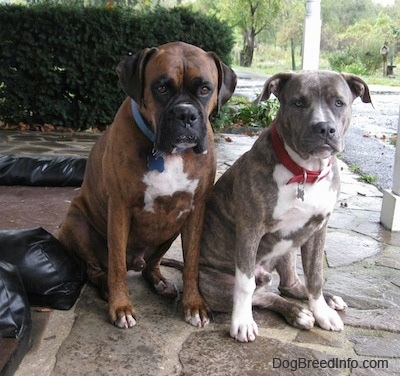 A blue-nose brindle Pit Bull Terrier puppy is sitting next to a brown brindle Boxer on a stone porch looking forward.