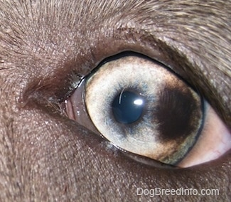 Close up - A brown spot in the eye of a blue-nose brindle Pit Bull Terrier puppy.