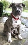 A blue-nose brindle Pit Bull Terrier puppy is sitting on a wet stone surface. He is looking forward.