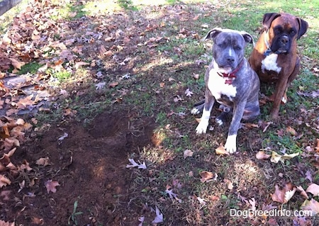 A blue-nose brindle Pit Bull Terrier and a brown brindle Boxer are sitting in grass next to a newly dug hole.