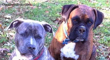 Close up head shots - A blue-nose brindle Pit Bull Terrier and a brown brindle Boxer are sitting in grass and they are looking forward.