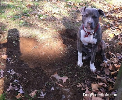 A dirty-nosed, blue-nose brindle Pit Bull Terrier is sitting in grass next to a freshly dug hole.