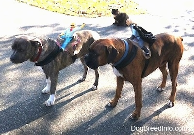 A blue-nose brindle Pit Bull Terrier and a brown brindle Boxer are standing on a blacktop surface and they have toys strapped to there backs. There is a cat sitting behind them.