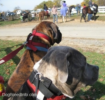 The side of a blue-nose brindle Pit Bull Terrier and a brown brindle Boxer that are sitting in grass looking at people standing across from them on horses.
