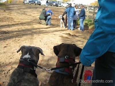 The back of a blue-nose brindle Pit Bull Terrier and a brown brindle Boxer are sitting in dirt and next to them is a person holding their leashes. They are looking at a Great Dane dog surrounded by people across from them.