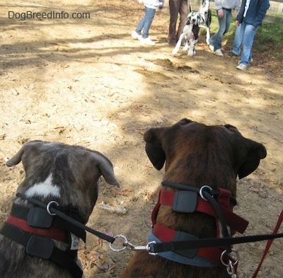 The back of a blue-nose brindle Pit Bull Terrier and a brown brindle Boxer that are standing in dirt. Across from them the Great Dane dog is attempting to get over to them.