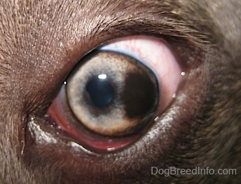 Close up - A brown spot in the left eye of a blue-nose brindle Pit Bull Terrier.