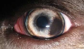 The left eye of a blue-nose brindle Pit Bull Terrier that has a brown spot on it.