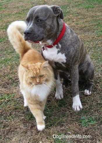 A blue-nose brindle Pit Bull Terrier is sitting in grass and there is a tan with white cat walking past him.
