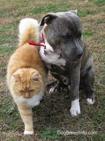 A blue-nose brindle Pit Bull Terrier is sitting in grass and a tan with white cat is brushing up against a dog. The dog is looking away to the right.