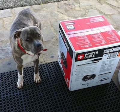 A blue-nose brindle Pit Bull Terrier is standing on a stone porch next to a Porter Cable grill in a box.