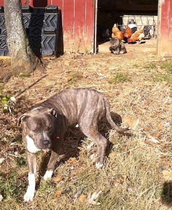 A blue-nose brindle Pit Bull Terrier is standing in grass and behind him in the doorway of a barn is a cat looking at him. There are chickens behind the cat.