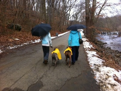 Two ladies holding black umbrellas are taking two dogs in bright yellow raincoats on a walk next to a creek.