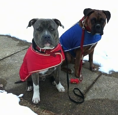 A blue-nose brindle Pit Bull Terrier, in a red vest and a brown brindle Boxer, in a blue vest, are sitting on a concrete sidewalk and they are looking forward. They area behind them is covered in snow.