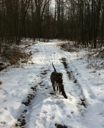 A blue-nose brindle Pit Bull Terrier is walking down a snowy path in between trees and he is carrying a thing in his mouth.