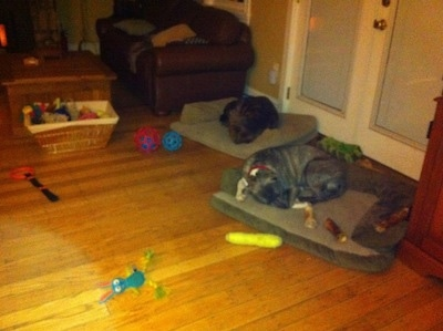 A blue-nose brindle Pit Bull Terrier is sleeping on a dog bed and behind him is a brown brindle Boxer sleeping on a dog bed. There are toys and bones all around the both of them.