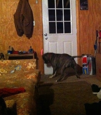 A blue-nose brindle Pit Bull Terrier is standing in front of a door and he is chasing after a red laser light.
