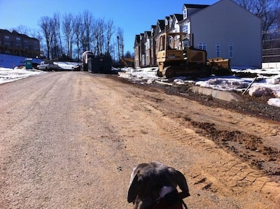 The back of a blue-nose Brindle Pit Bull Terrier that is looking down a construction site.