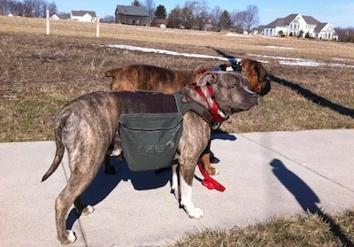The side of a blue-nose Brindle Pit Bull Terrier that is wearing a backpack. Standing behind him is a brown brindle Boxer. The dogs are on a sidewalk.