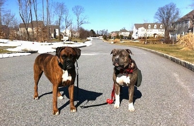 A brown brindle Boxer and a blue-nose Brindle Pit Bull Terrier are standing in the middle of a street in a neighborhood looking forward.