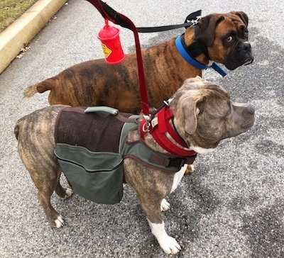 A blue-nose Brindle Pit Bull Terrier is wearing a backpack vest. Standing next to him is a brown brindle Boxer. They are standing in a street.