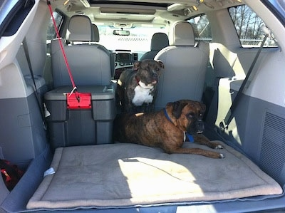 A brown brindle Boxer is laying in the backseat of a Toyota Sienna minivan vehicle between two seats. Behind him is a blue-nose Brindle Pit Bull Terrier.