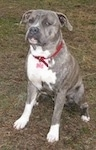 A blue-nose brindle Pit Bull Terrier is sitting in a muddy area and he is looking forward and to the left.