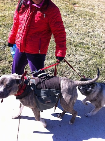 A Norwegian Elkhound is walking behind a blue-nose Brindle Pit Bull Terrier up a sidewalk by a lady in a red coat and purple pants who is standing behind them.