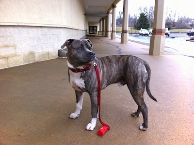 A blue-nose Brindle Pit Bull Terrier is standing on a concrete surface and he is looking to the right outside of a store in a shopping center.
