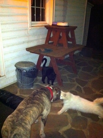 The back of a blue-nose Brindle Pit Bull Terrier standing on a stone porch inspecting a white cat in front of him. A black cat is standing under a wooden table.