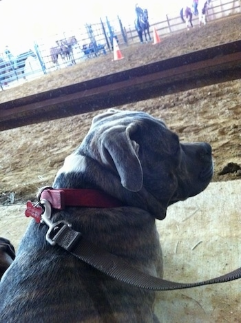 The back of a blue-nose Brindle Pit Bull Terrier that is laying on a concrete surface and in front of him are people riding horses.