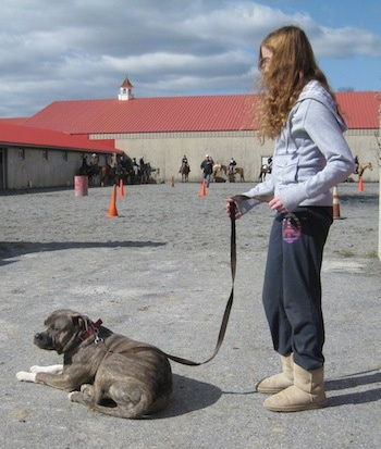 A blue-nose Brindle Pit Bull Terrier is laying on a concrete surface and behind him is a girl in a grey sweater holding his leash.