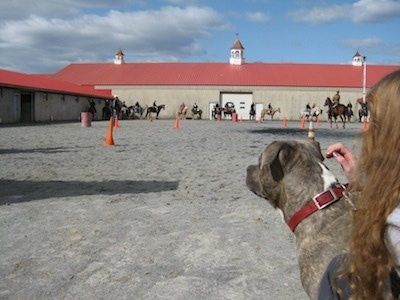 The back of a blue-nose brindle Pit Bull Terrier that is being pet by a girl. They are looking at horses riding around orange cones.