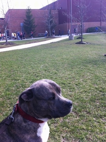 A blue-nose Brindle Pit Bull Terrier is sitting in grass and he is looking to the right. There is a school with kids walking around behind him.
